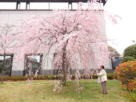Sakura 06979