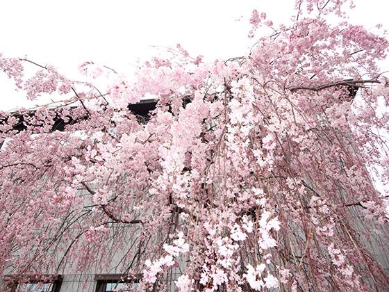 Sakura 06980