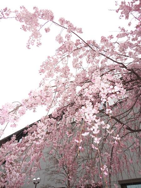 Sakura 06982