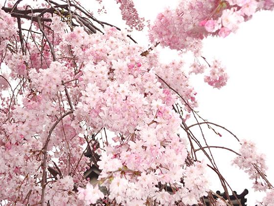 Sakura 06983
