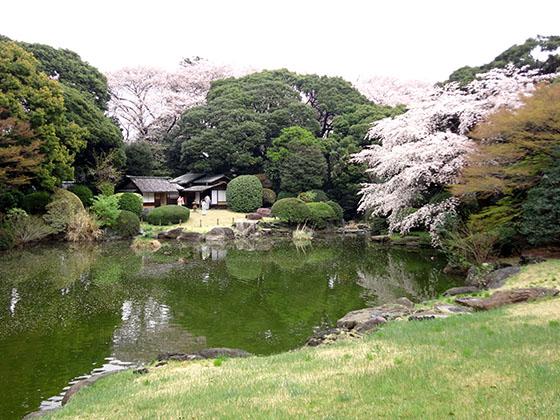 Sakura 06986