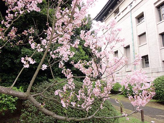 Sakura 06992