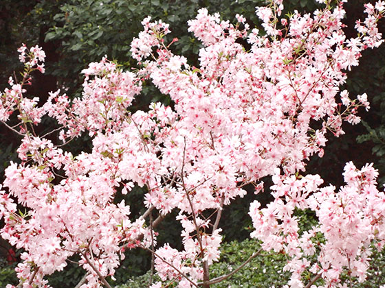 Sakura 06993
