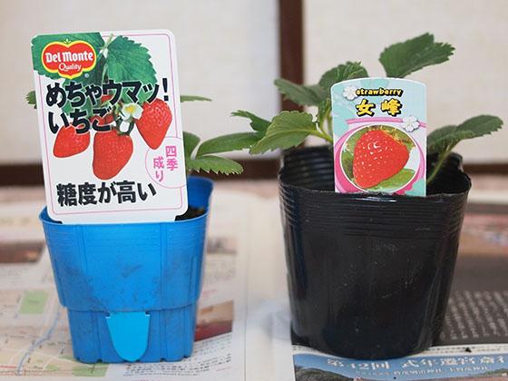 strawberry_01