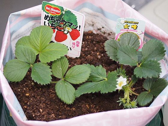 strawberry_03