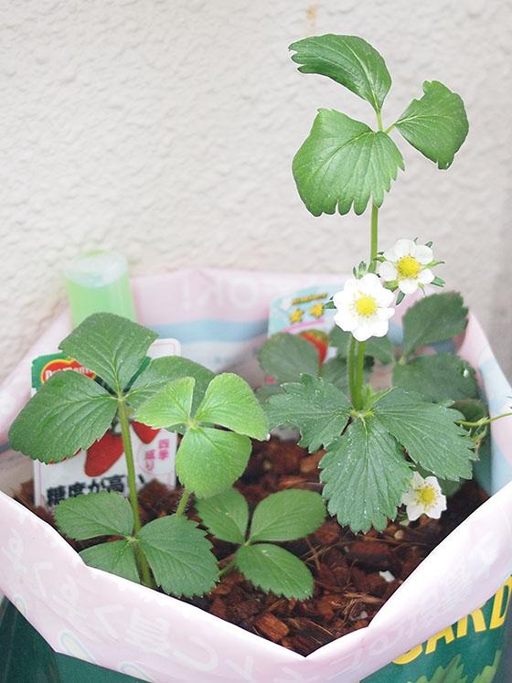 strawberry150406_01