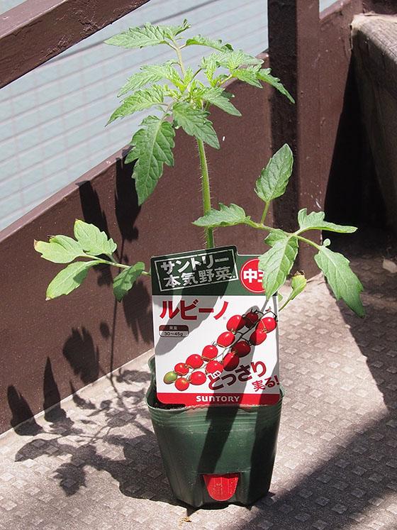 tomato150423_01