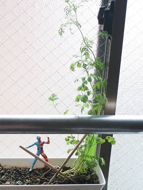 coriander150907_02